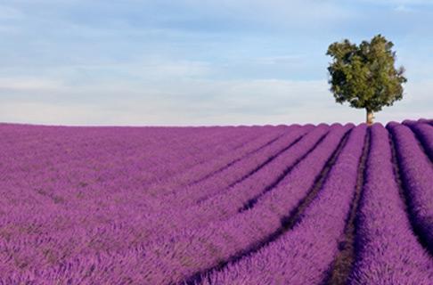 Bio Lavendel Blüten kaufen
